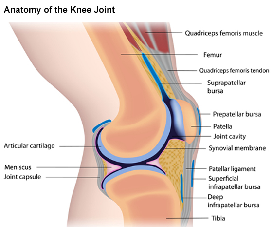 Anatomy of the Knee Joint Graphic
